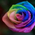 世界一美しいバラ レインボーローズ